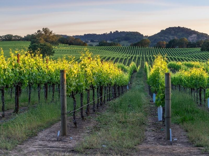Brilliant green vineyards in Healdsburg