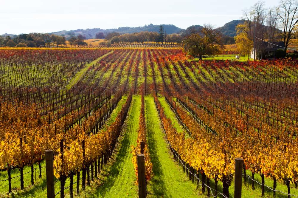 Green grass and brilliant orange foliage on vineyard leaves