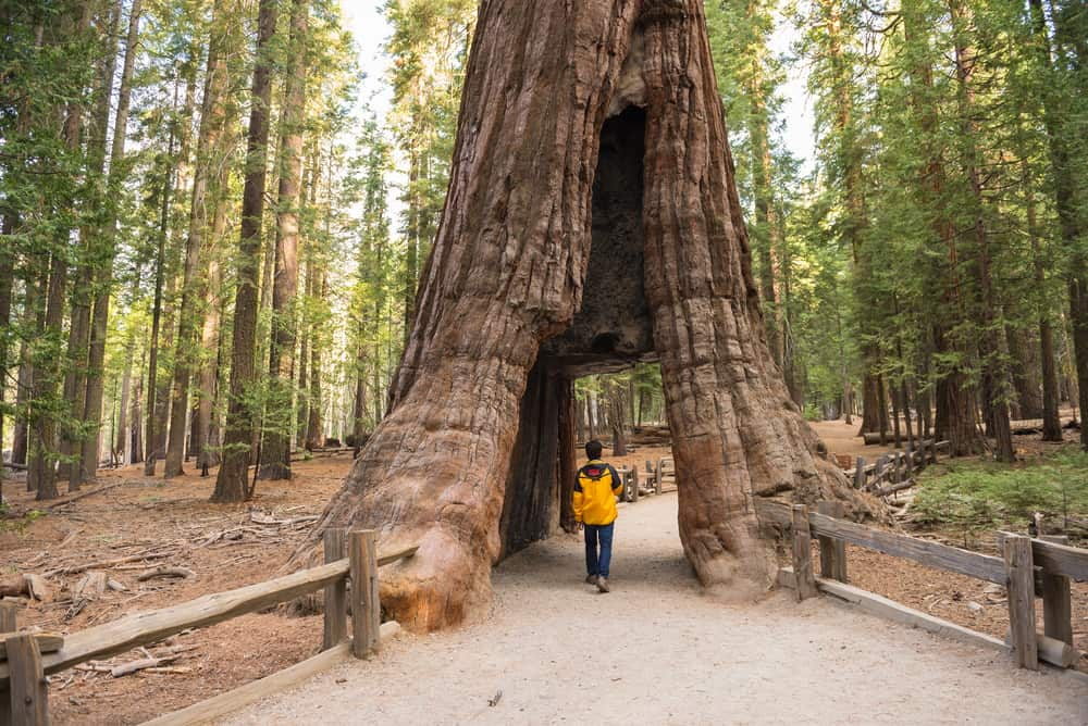 boy walking through a redwood tree tunnel on the paved path in mariposa grove