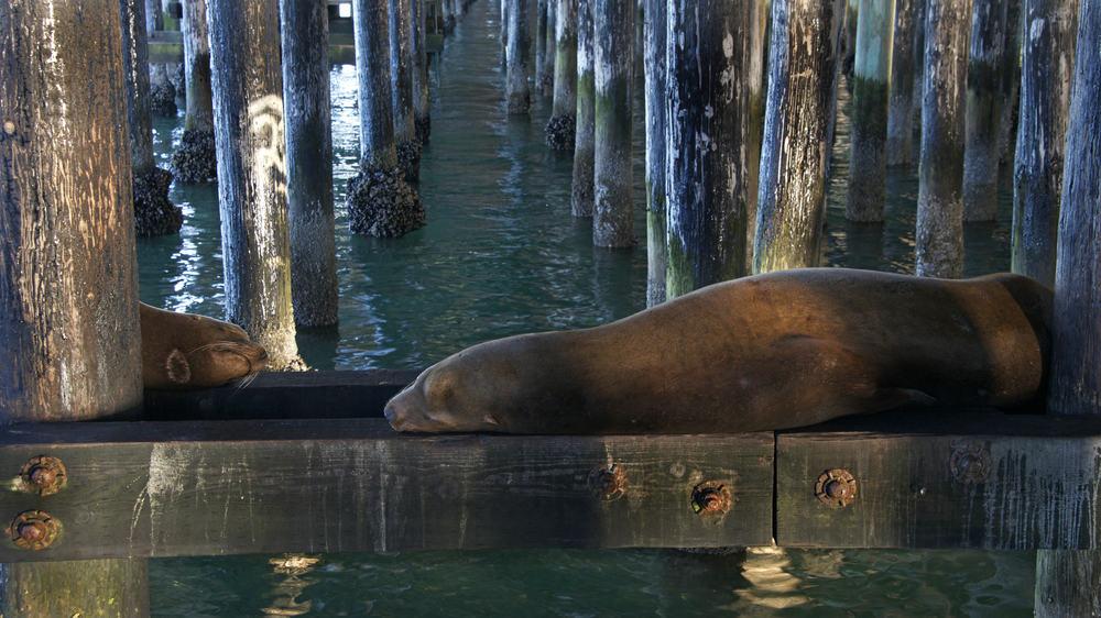 sea lions on the piers in santa cruz
