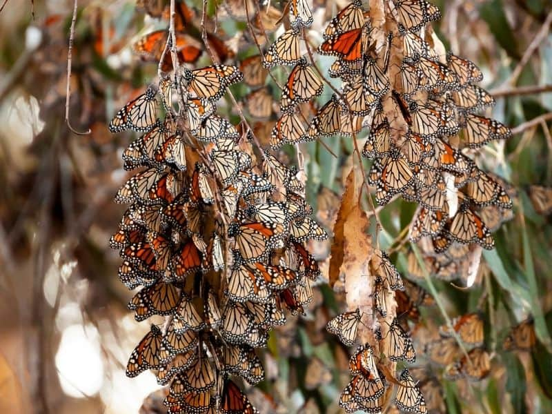 A huge amount of orange and black monarch butterflies gathering to rest on a tree