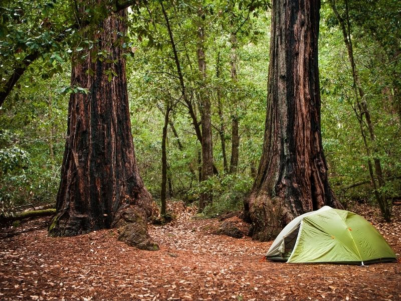 Green tent in foreground on reddish-brown leaves on forest floor with redwoods surrounding it.