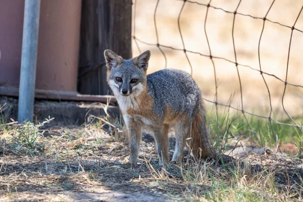A small endangered Catalina Island fox in a conservation area.