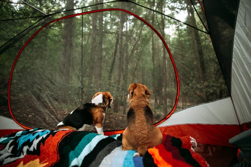 Two medium-size brown and black dogs in a tent with clear walls looking out into forest, with colorful blankets in foreground.