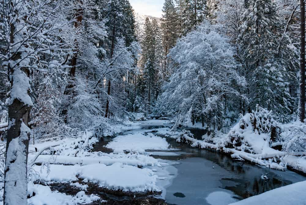 View of still creek with some ice and snowfall with lots of pine trees and other evergreens covered in snow on a Yosemite winter hike.