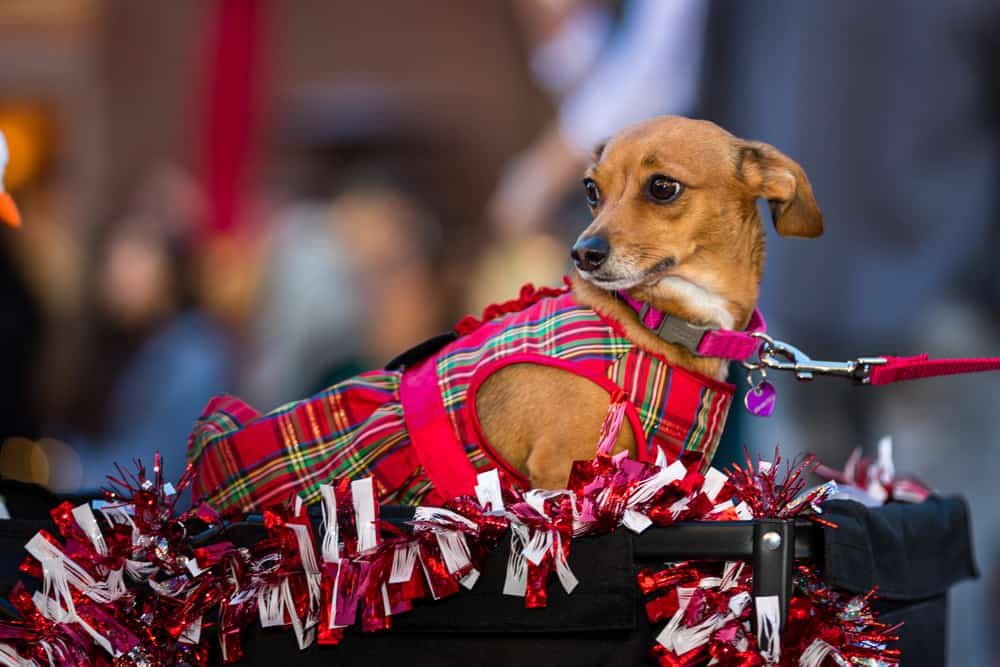 A small dog dressed up in holiday tartan at a dog parade for Christmas in San Diego