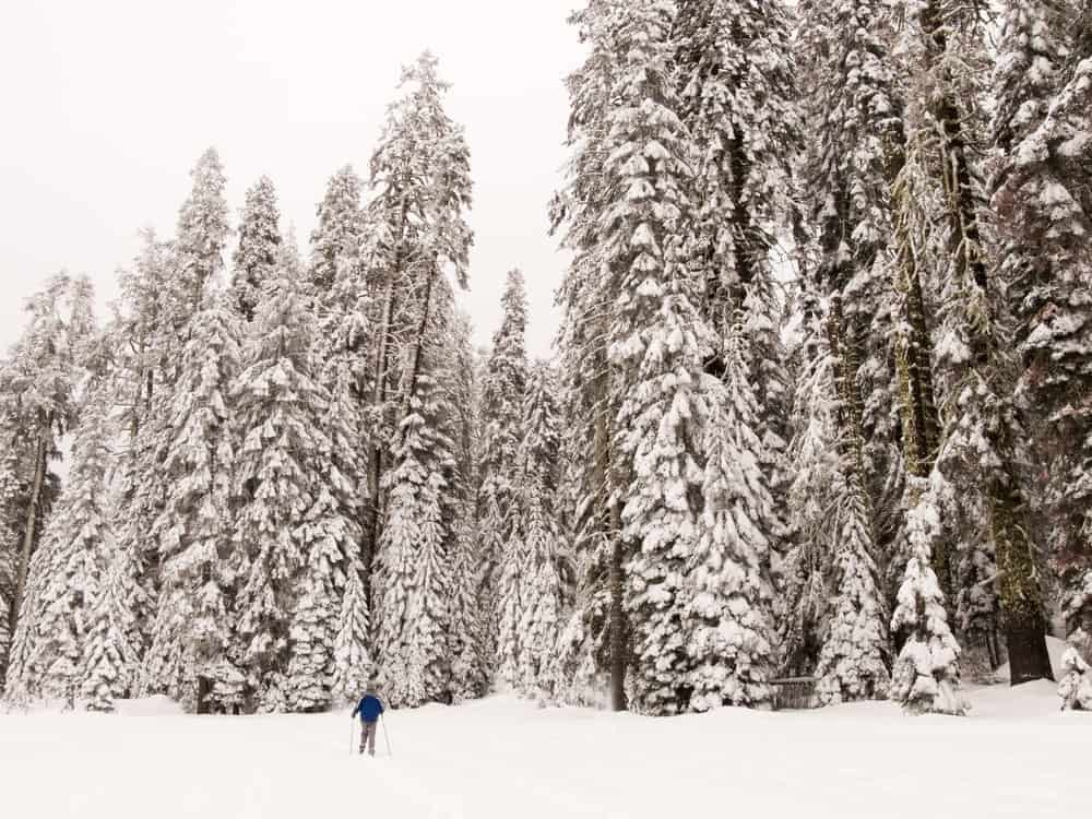Giant towering trees covered in snow with tiny person at base of tree for perspective with white, cloudy sky.