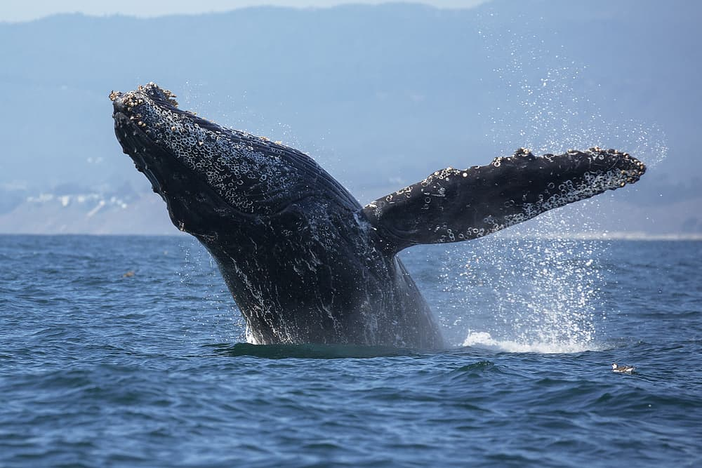 Gray whale breaching jumping onto their back in the middle of the Pacific Ocean