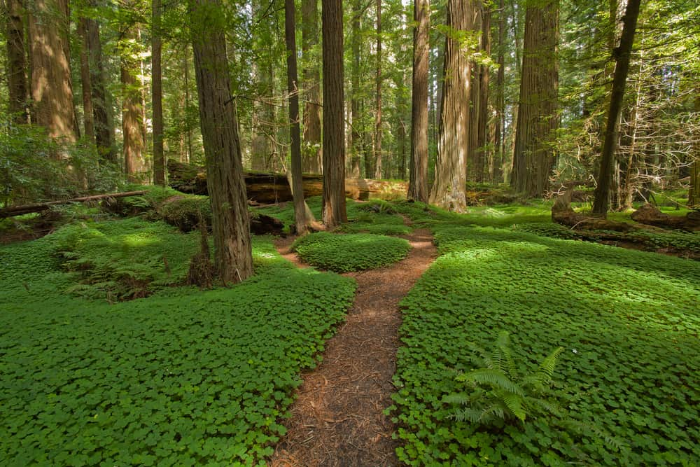 Bed of low-lying green fern and clover looking greenery with path and redwood trees in background.