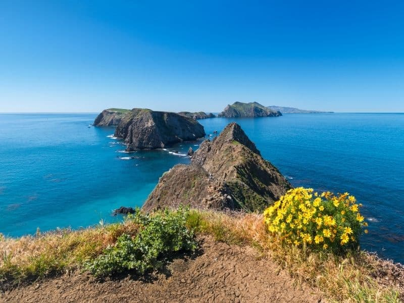 The most famous postcard-perfect view of the Channel Islands National Park: several islands in the archipelago with brilliant turquoise sea and a bush of yellow flowers in foreground.