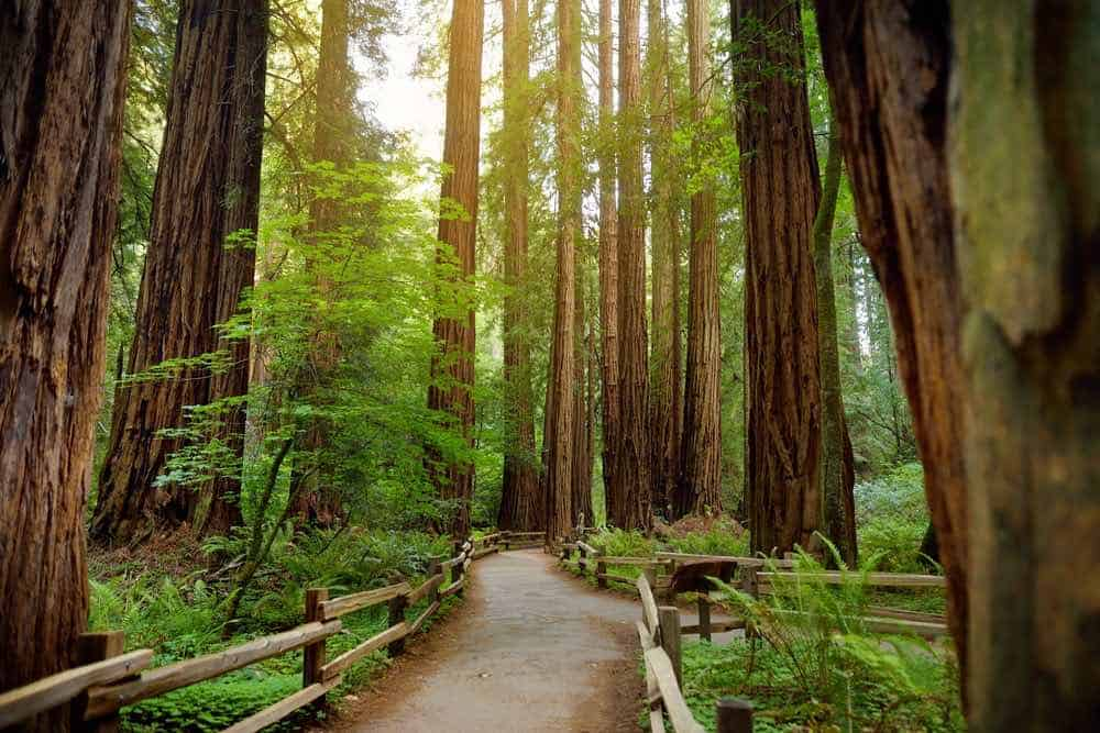 A path leading through a foggy redwood forest in Muir Woods, surrounded by tall red tree trunks of the redwood tree