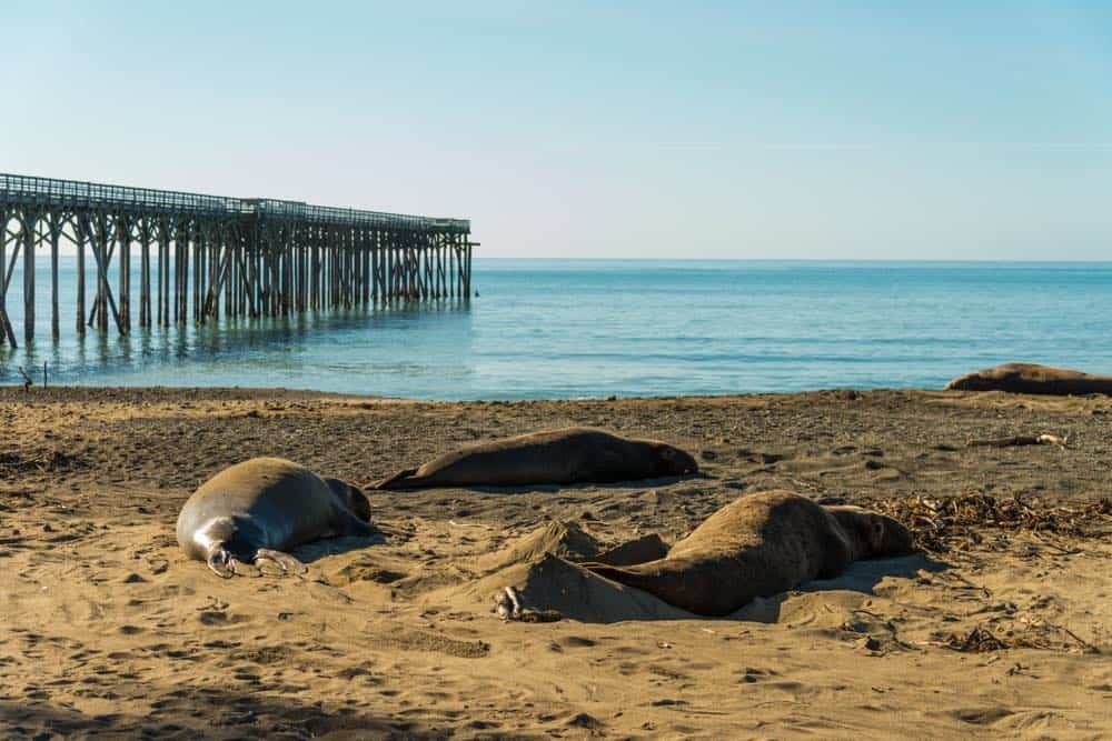 the pier at san simeon with calm waters and sandy beach and elephant seals hanging out on the sand