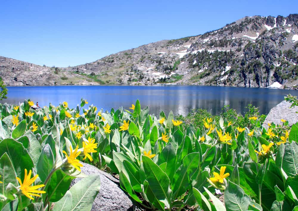 A view of Winnemuca Lake, a popular East Tahoe hike, with green plants with yellow flowers at the rim of the lake, blue flat water, and mountains which rim the lake.