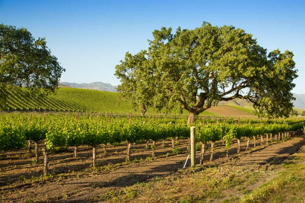 Two trees with lots of grapevines in a beautiful Santa Barbara winery on a sunny cloudless blue sky day.