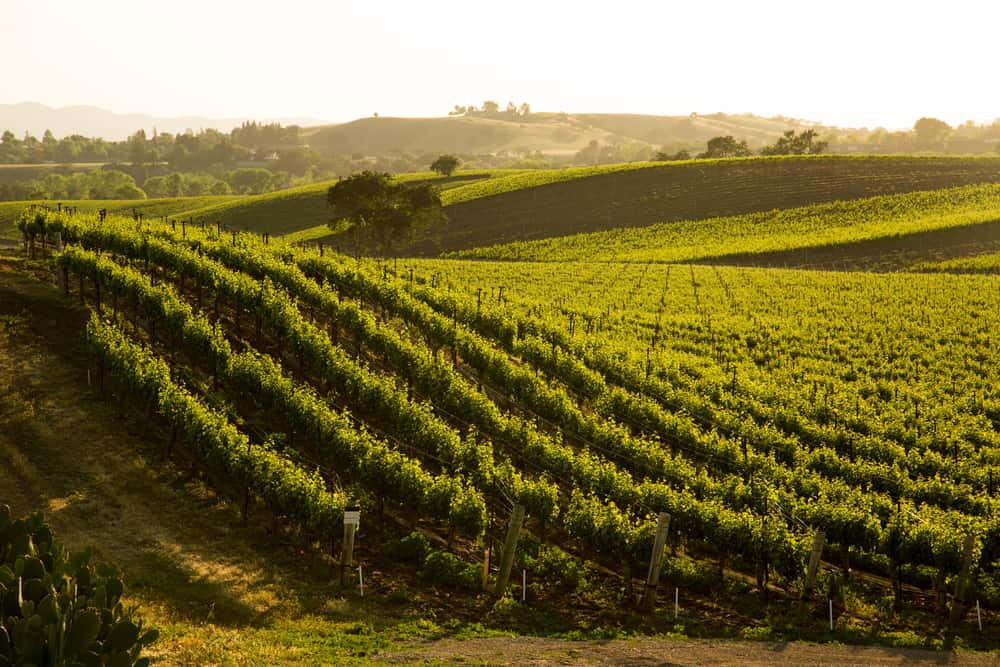 Late afternoon light setting over a beautiful rolling hill full of grapevines in Santa Barbara wine country.