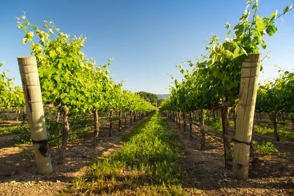 A low angle, vanishing point perspective photo of a Santa Barbara vineyard growing white wine grapes.