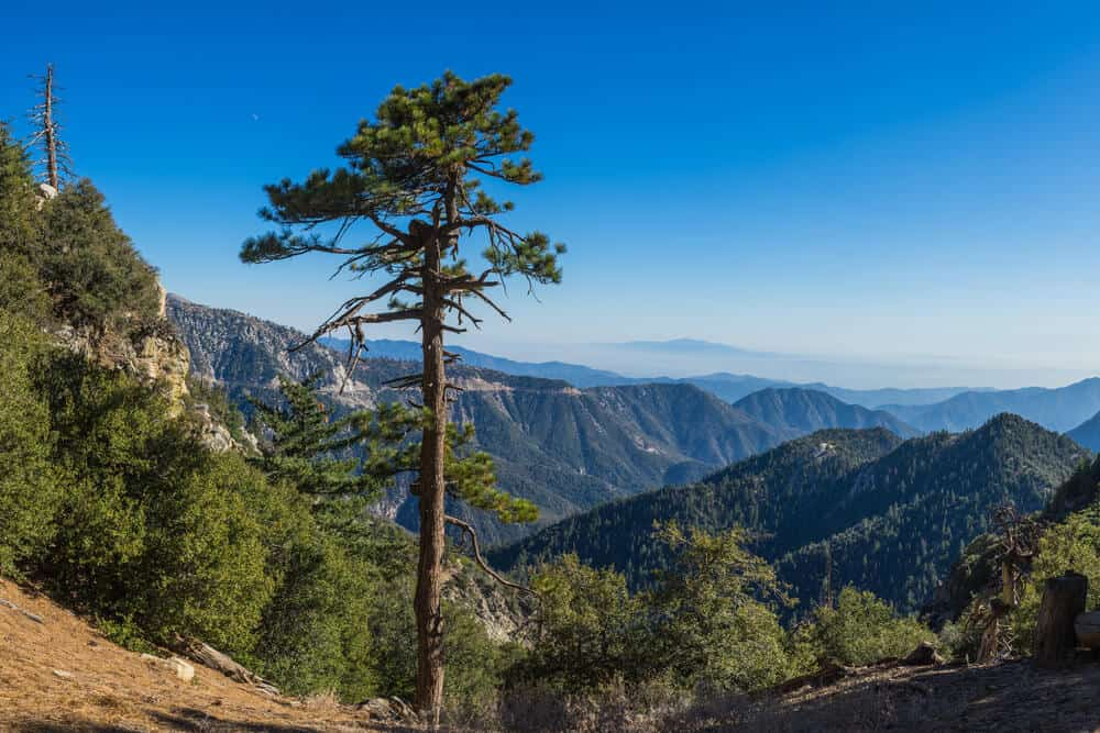 One lone tree with a tall trunk, overlooking the mountains of Angeles National Forest covered in trees on a blue sky day on a road trip from LA