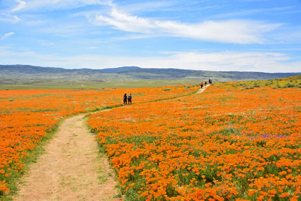 People walking through a wide path of orange california poppies in spring in Antelope Valley