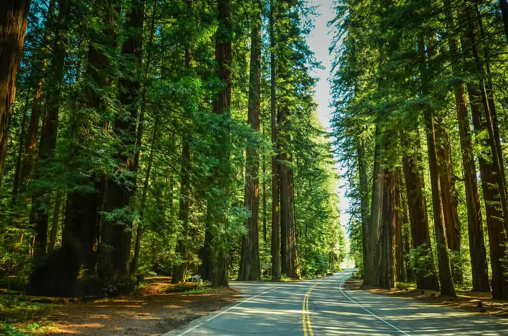 Brilliant green redwood trees lit up by the daylight as a highway goes through the middle of them with no cars on it.