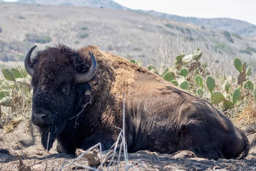 An American bison with horns sitting in a desert-looking atmosphere with cactus in the background on Catalina Island.