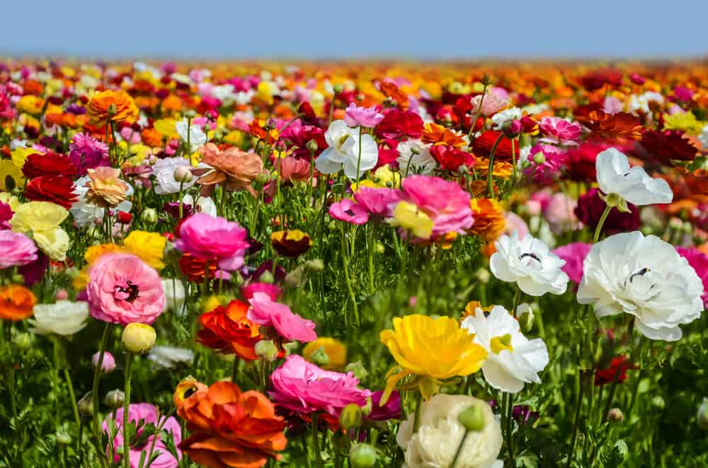 Close up view of red, white, yellow and pink ranculus flowers in a flower field in California in Carlsbad.