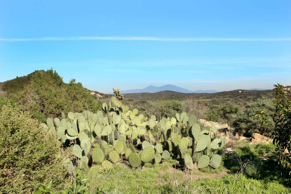 Green prickly pear cacti in Crystal Cove State Park on Moro Canyon Road hiking path, with mountains and a blue sky in the background.