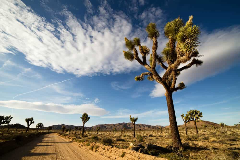 A large looming Joshua Tree, with green spikes at the end of its branches, on the side of an unpaved desert road in Joshua Tree National Park, on a partly cloudy day.