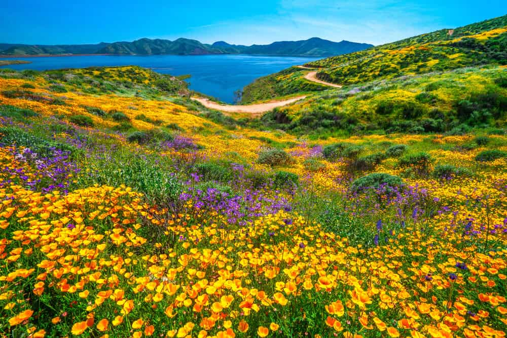 California spring wildflowers in orange and purple and green in front of blue lake.