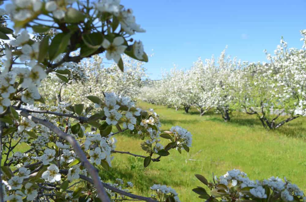 White blossoms on an apple tree near Julian California in spring