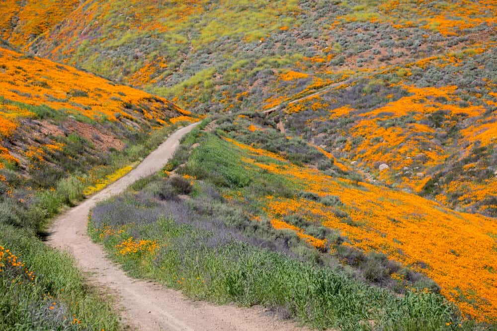 Orange poppy flowers blanketing the hillside with a trail running through it near Lake Elsinore California