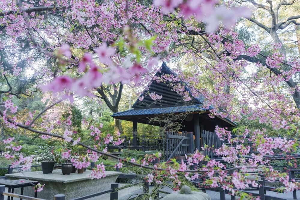 Pink cherry blossoms in front of a traditional Japanese wooden building in a park in los Angeles in Spring