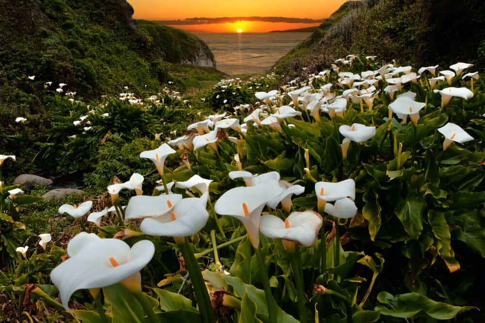 White calla lilies in a valley next to the ocean at sunset with an orange sky.