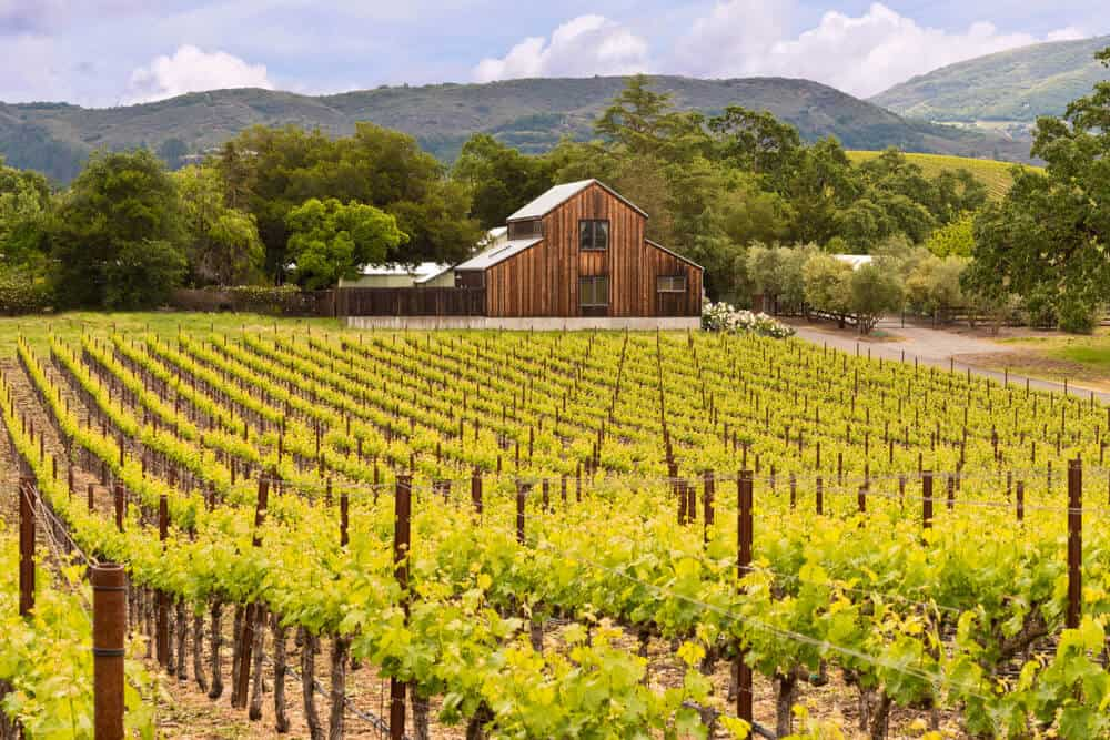Green vineyards in front of rolling hills and a wooden barn in California in spring.
