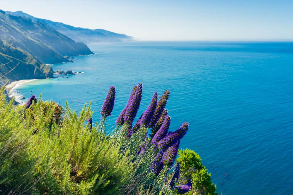 A bunch of lupine flowers, purple clusters of flowers, along the coast of Big Sur with brilliant turquoise water of the Pacific.