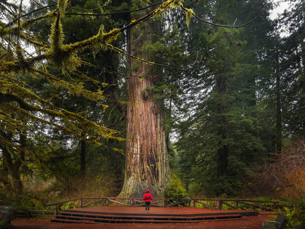 A very small woman in a red jacket and black pants standing at the base of an enormous redwood tree in Redwood National Park