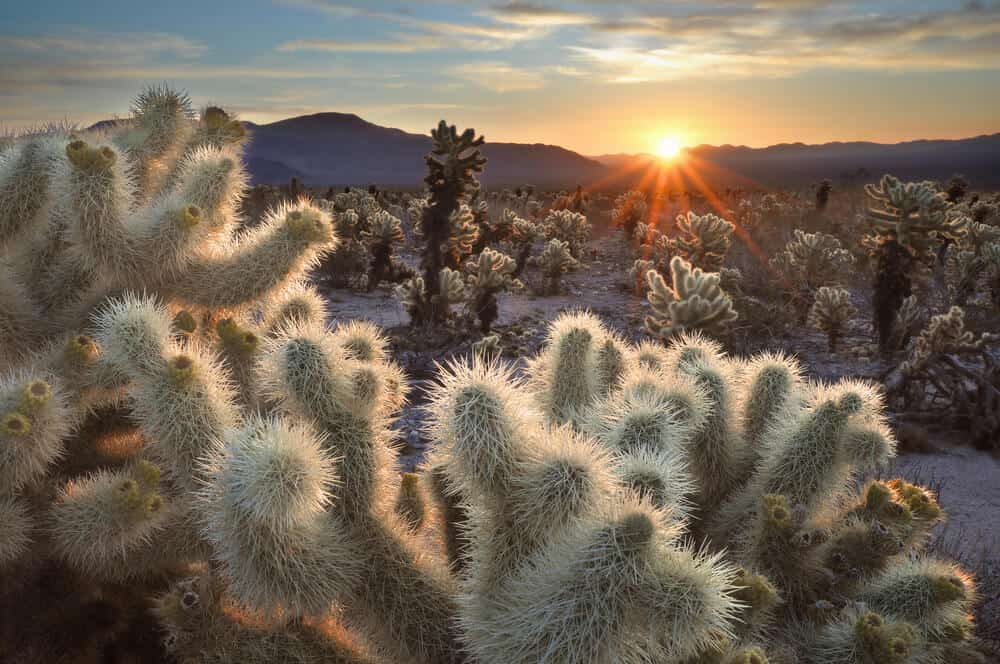 The white fuzzy spikes of the cholla cactus illuminated by the rising sun, creating a sunburst as it rises over the mountain horizon in Joshua Tree.