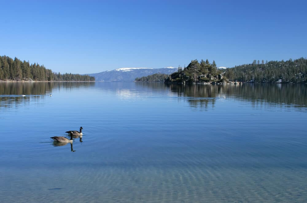 Two geese swimming in still lake water at Emerald Bay, a small island in the distance covered in trees, and pine-covered shores on the sides of the lake.