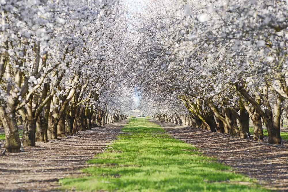 White flowers on almond trees near Sacramento California in spring.