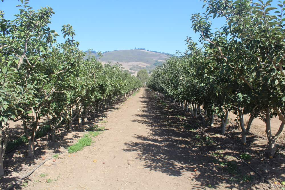 Dusty ground between rows of apple trees at a Southern California apple orchard.