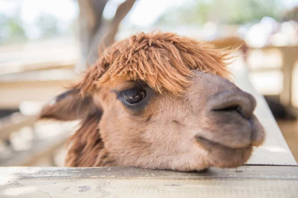 The face of a cute baby camel with a wild mess of hair on top, standing behind a small wooden fence.