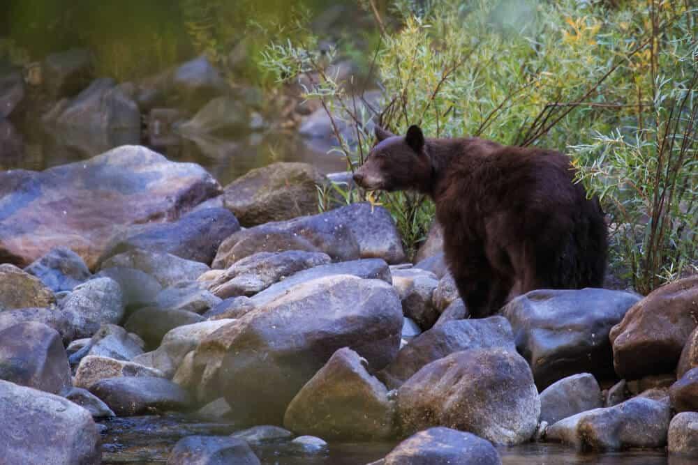 A bear standing on rocks near a river in Yosemite.