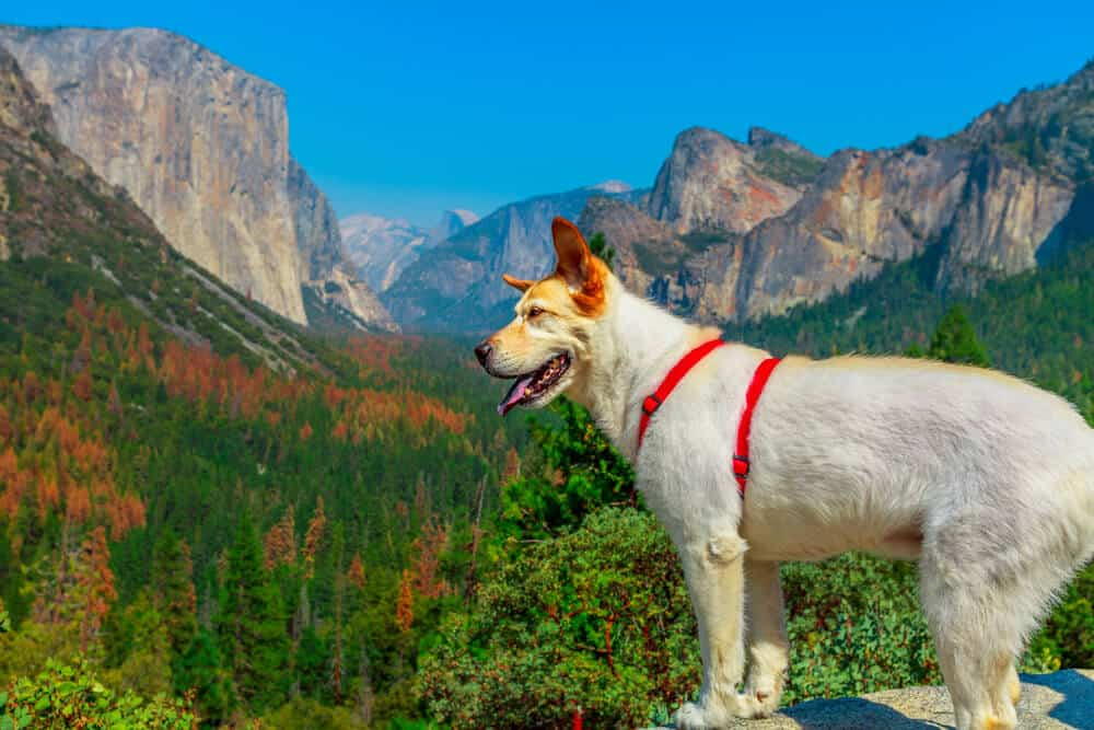 White mixed breed dog wearing a red harness looking at the valley view of Yosemite in the fall with some trees turning orange.