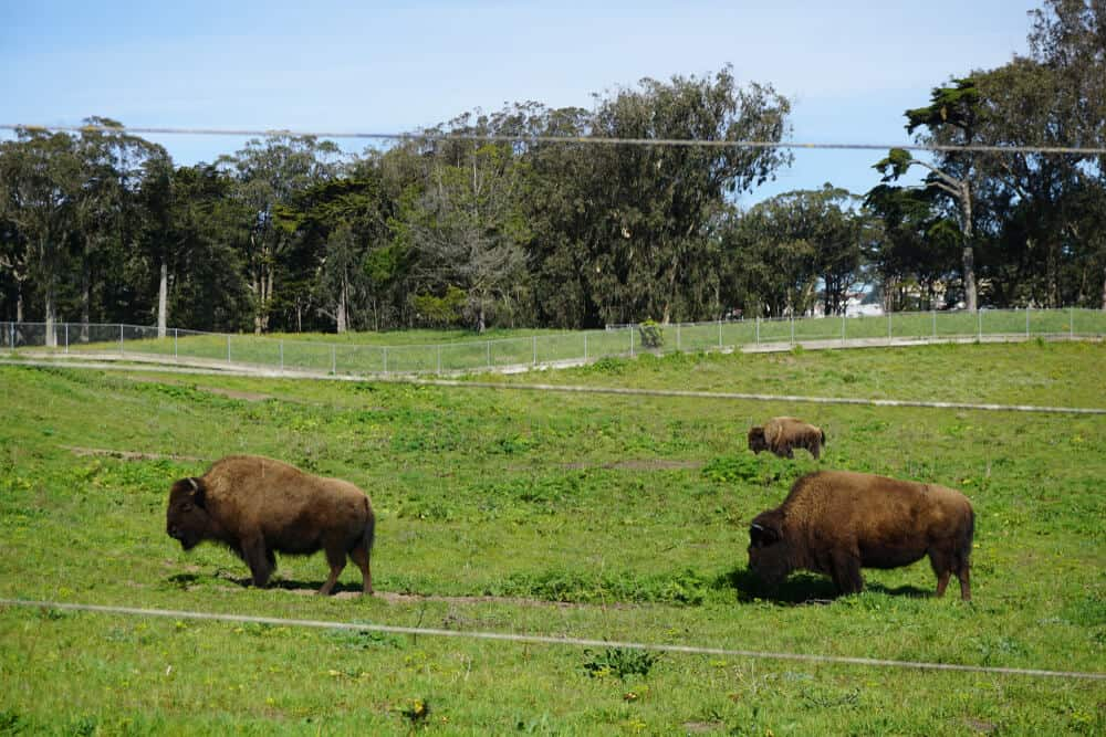 Three bison standing in a green field in Golden Gate Park, a beautiful easy hike in San Francisco.
