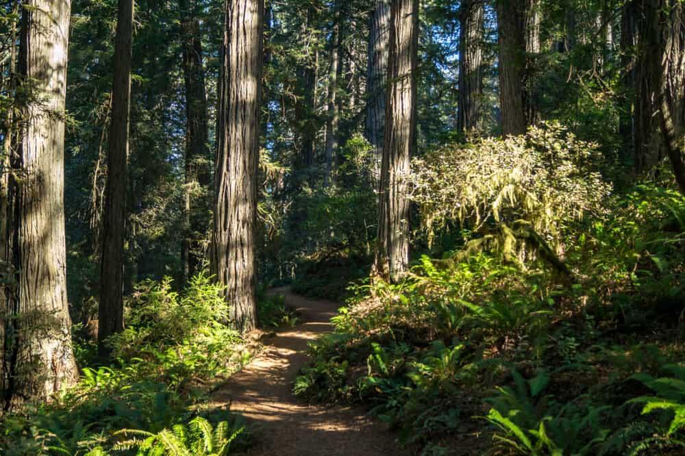 the tall redwood trees of lady bird johnson grove