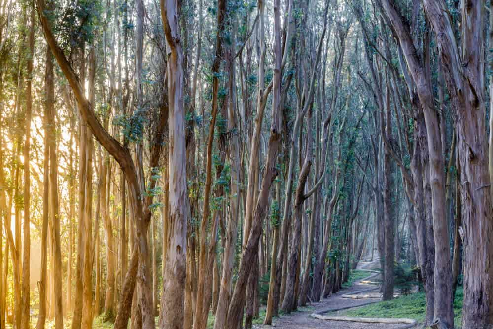 Light coming in through the eucalyptus trees in the Presidio a popular place for hiking in San Francisco