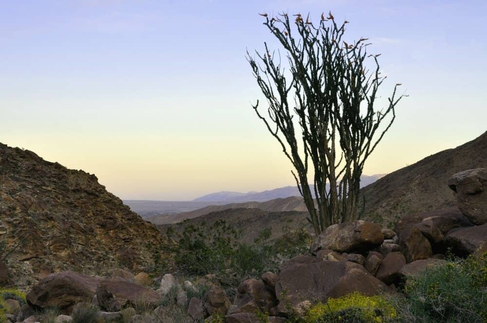 A desert tree on a landscape in Anza Borrego near sunset