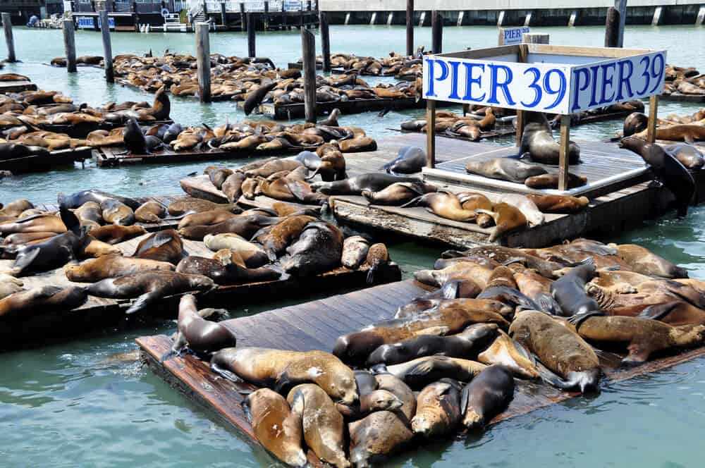 Dozens of sea lions laying in the sun on floating platforms next to the sign Pier 39