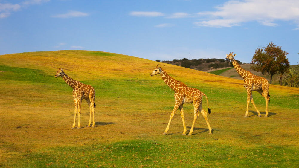 Three giraffes in the San Diego Zoo Safari Park, walking on the green and brown hill, with lots of space to roam and graze outdoors in Southern California.