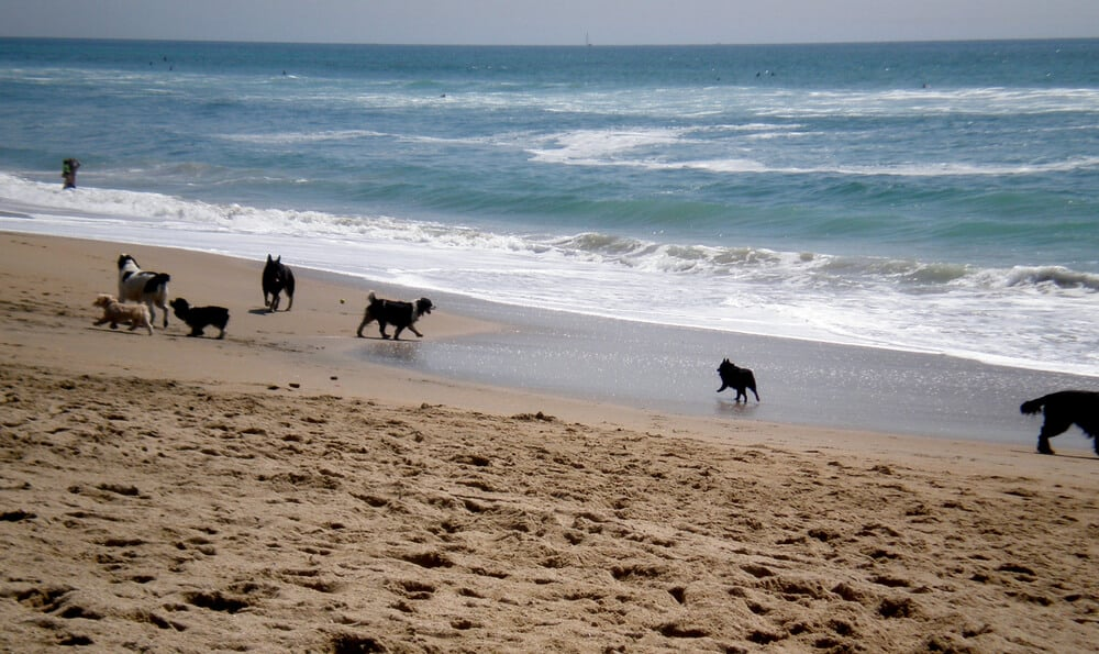 Dogs playing in the sand and surf at Huntington Dog Beach, a must visit thing to do in Huntingon Beach.