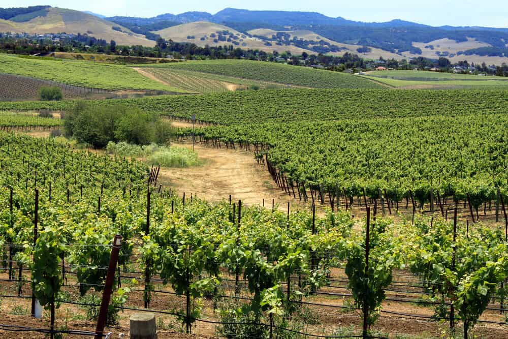 Green vineyards in the middle of summer, surrounded by hills and California landscape
